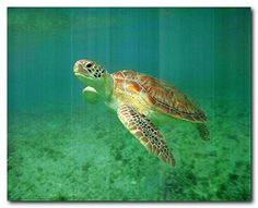 Absolutely Wow! Light up your place with this charming pink turtle swims in a sea is sure to attract lot of attention. It would be a perfect addition for your home. You'll surely enjoy viewing this poster which expresses your passion for sea animals. This poster delivers a sharp vivid image with a high degree of color accuracy which ensures long lasting beauty of the product. Order today and enjoy your surroundings.