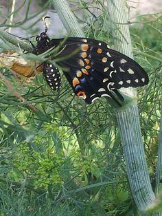 Black swallowtail butterfly 2014