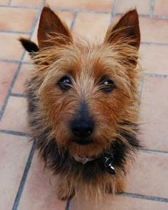 Australian Terrier Dogs| Australian Terrier Dog Breed Info & Pictures | petMD