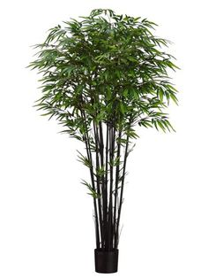 6' Natural Black Bamboo Tree x15 w/2240 Leaves in Pot Two Tone Green (Pack of 2) *** Click on the image for additional details.