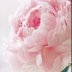 ZsaZsa Bellagio: Pale pink peony - is there any bloom more romantic. always reminds me of a pink ruffled cabbage rose. My Flower, Pink Flowers, Pretty In Pink, Beautiful Flowers, Perfect Pink, Peony Flower, Fresh Flowers, House Beautiful, Simply Beautiful