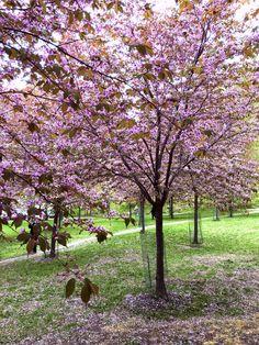 Cherry blossom park, Sahaajankatu, Roihuvuori, Helsinki, Finland.