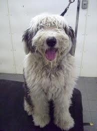 old english sheepdog - Google Search