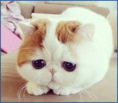 breed cats - Αναζήτηση Google