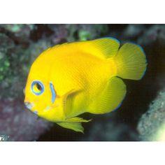 Lemon Peel angelfish HAWAII (Centropyge flavissimus)