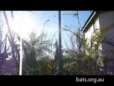 video - Gilbert the bat on FaceBook — Help Save WildLife