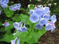 Virginia Bluebells (Mertensia virginica - Google Search ´for shade