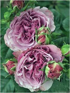 Lavender Ice Rose
