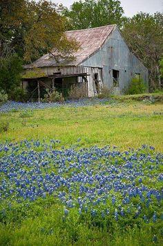Old barn amid blue bonnets