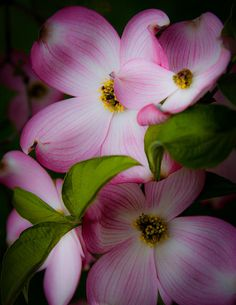 ~~Pink Dogwood Blossoms by David Patterson~~
