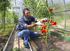 Photo about Worker is processing the tomatoes bushes in the greenhouse of polycarbonate. Image of bunch, juicy, bushes - 43428364 Hot House, Fruits Images, Broccoli, Stuffed Peppers, Stock Photos, Polycarbonate Greenhouse, Vegetables, Healthy, Tomatoes