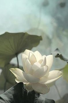 From the mud, rises the Lotus
