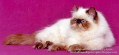 Listado de Razas de Perros y Gatos. Todos los tipos...: Raza de Gato Himalayo o Persa Himalayo (Himalayan ...