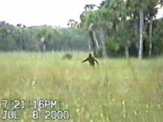 Photograph of an alleged Skunk Ape. Taken by David Shealy in Florida's Big Cypress Swamp.
