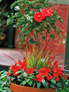 Create a container that will attract attention by using bold colors and tropical plants. Here, a tree-form hibiscus adds even more appeal. This planting grows best in full sun.  A. Hibiscus rosa-sinensis -- 1  B. Japanese bloodgrass (Imperata cylindrica 'Rubra') -- 3  C. Salvia (Salvia splendens) -- 3  D. New Guinea impatiens (Impatiens 'Celebration Deep Red') -- 3