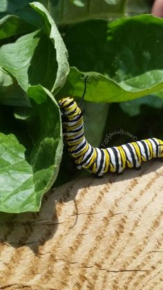Monarch Butterfly Caterpillar. Loving the Sunshine in the Garden.