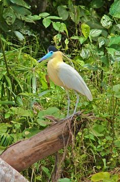 Capped Heron in the Peruvian Amazon