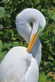 Great Egret taken in South Texas