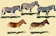 A rapid loss of stripes: the evolutionary history of the extinct quagga | Biology Letters