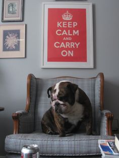 Dozer - Keep Calm - English Bulldog. ***This is so crazy! This dog is colored just like Gus and his name is Dozer. Gussy's Dad is named Dozer***
