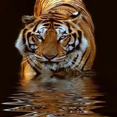 Tiger Tales: Terrific Terrestrial Tiger. Distance Shadows Fall Across My Shoulders. As I Prowl Along The Jungle Floor Vegetation. Full Moon Casting Beams Of Light All Around Me As I Walk Ever...