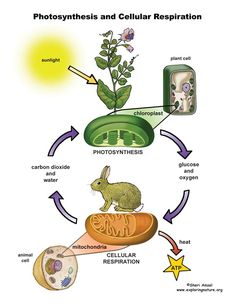Great diagram for teaching photosynthesis and respiration. Has a blank on site to use for assessment.