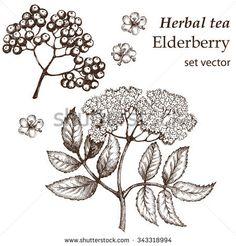 stock-vector-flowers-elderberry-twig-elderberry-elderberry-botanical-drawing-medicinal-plant-herbal-tea-343318994.jpg (450×470)