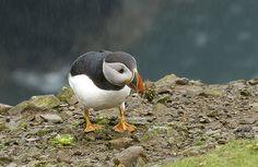 Puffin in the rain
