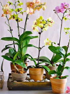 Indoor gardens - how to grow and manage Orchids