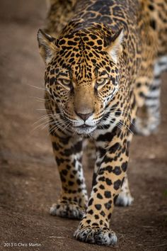anythingfeline: Jaguar by Chris Martin I Love Cats, Big Cats, Dog Love, Leopard Pictures, Animal Pictures, African Tiger, Animals Beautiful, Cute Animals, Jaguar Leopard