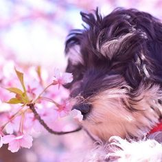 #天使 かな?目をつぶって#花 の香りを嗅ぐとか#女優 みたい😂#男の子 だけど(笑)#マルックス #マルックス部 #ミニチュアダックスフント #マルチーズ #MIX犬 #ミックス犬 #mix #子犬 #犬 #愛犬 #instadog #animal #空 #河津桜 #ピンク #水色 #桜 #可愛い
