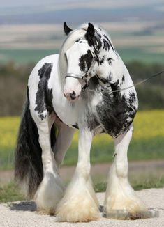 Draft horses - Pretty black and white Gypsy Vanner.