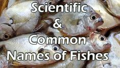 Common names and Scientific names of fishes | Get to know your fish | Fish common Name list A-Z | Silky Shark, Eagle Ray, How To Cook Fish, Common Names, Angel Fish, Catfish, Cooking Fish, Fish Fish, English