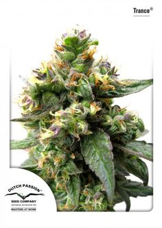 Trance ® is a special outdoor variety bred for specifically for Skunk lovers who want a true Skunk experience in a plant that can mature fully under outdoor conditions. Dutch Passion hybridised a carefully selected Skunk with a tough Indica strain to create Trance. Occasionally the plants turn a remarkable and beautiful red colour and deliver an excellent quality high, THC levels are 12-13%.
