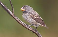 large-ground-finch-female-robt_w3c0224-puerto-ayora-galapagos