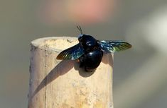 Carpenter Bee - banks of Brahmaputra River - Eastern HimalayasP1080662 - Carpenter Bee (Xylocopa) # 181 - 27/12/17 - 17:47  Carpenter Bee (Xylocopa) - was see on banks of Brahmaputra River- Eastern Himalayas before getting in to the cruise for 3days ride. a memorable trip !  bamboo on which the bee is perched was oscillating in-n-out towards me n the bee was flying often  was tough but luckily got few snaps ! Happy birding!  bee bird butterfly birding wow water wood tit tits flower forest…