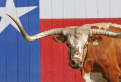 True Texas Longhorn, 8 x 10 photograph, taken at Twin Creeks Ranch by LonghornsAndWildlife on Etsy