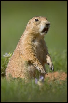 179 Best Prairie Dogs Images On Pinterest Prairie Dogs Rodents