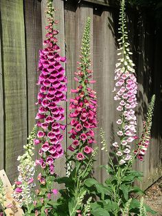 How to Grow Foxglove. Foxglove are showy, bell-shaped wildflowers native to the woods of northern Europe. Foxglove grow tall and produce robust pink, purple, red, white and yellow blossoms. If you have trouble keeping flowers safe from. Shade Garden, Garden Plants, Gravel Garden, Garden Benches, Garden Shrubs, Flowering Plants, Water Plants, Garden Art, Fall Flowers