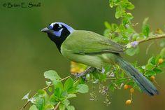 Green Jay Brian E. Small Bird Photography