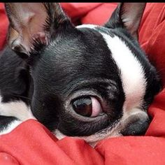 boston terrier w/eyeball - Pictify - your social art network