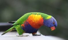 Rainbow Lorikeet Colorful Photo Picture HD Wallpapers Desktop Widescreen