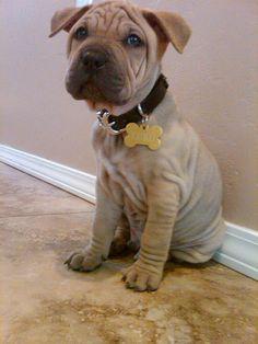 Shar Pei Pitbull Mix, next puppy