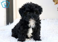 Poodles are usually seen in films, as the animal of option of a stylish character, or in canine reveals showcasing their perfectly groomed hair. Poodle Mix Breeds, Poodle Mix Puppies, Dog Breeds, Mini Poodles, Thing 1, Types Of Dogs, Mixed Breed, Puppies For Sale, Rottweiler