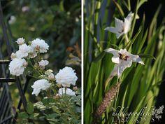 """Rose """"Heinrich Blanc"""" & Gladioulus Callianthus"""