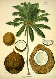 ** A beautiful antique illustration from the depths of an old botanical book, featuring a palm tree chart highlighting the essential parts of its coconut Illustration Botanique, Tree Illustration, Botanical Illustration, Antique Illustration, Indian Illustration, Art Illustrations, Vintage Botanical Prints, Botanical Drawings, Botanical Art