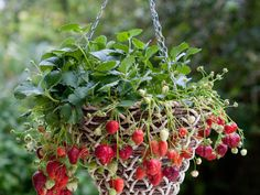 Strawberries are the easiest fruits to grow, and there's nothing tastier than home-grown strawberries! Instead of planting them in your garden, how about planting them in hanging baskets? This is how to do it!