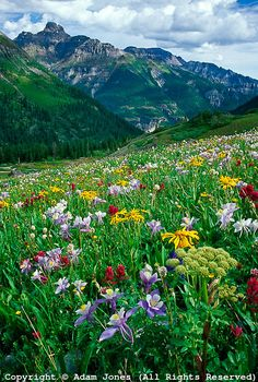 Alpine meadow of Columbine, Orange Sneezeweed, and Cow Parsnip, Mt. Sneffels Wilderness, Colorado