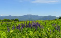 Lupine Festival - White Mountains New Hampshire.