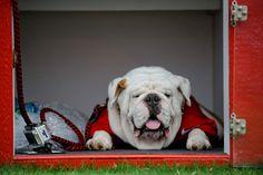 UGA,Georgia Bulldogs mascot